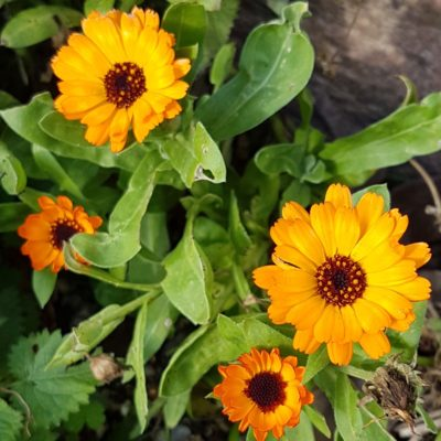 Calendula officinalis, 03/02/2019